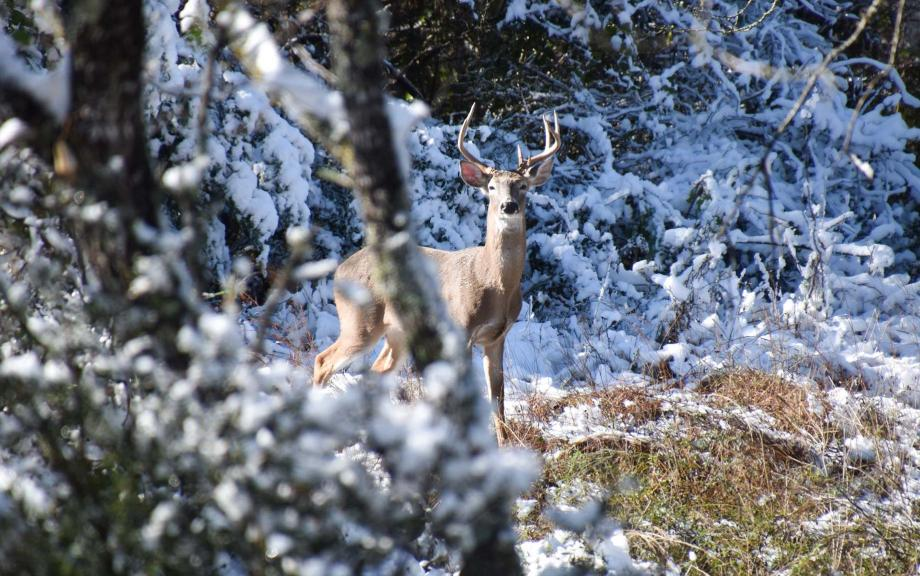 Deer looks through snowy branches