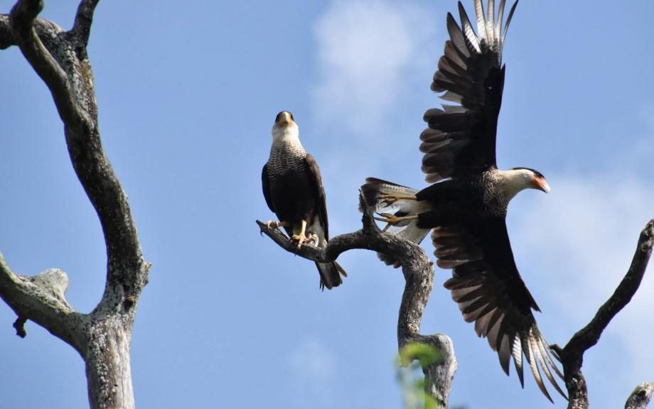 One eagle sits on tree branch while another flies behind